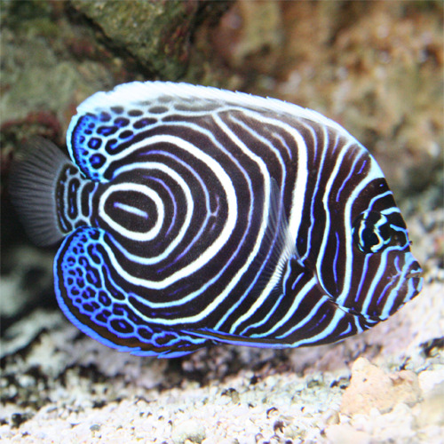 Pomacanthus imperator juvenil for Saltwater fish representative species