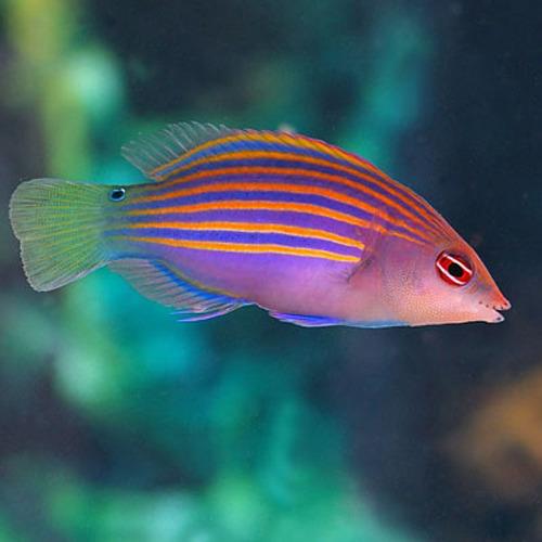 Pseudocheilinus hexataenia for Accesorios para acuarios marinos