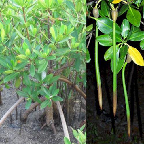 Rhizophora mangle (vaina)