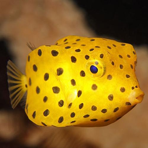 Ostracion cubicus peque o for Comida viva para peces
