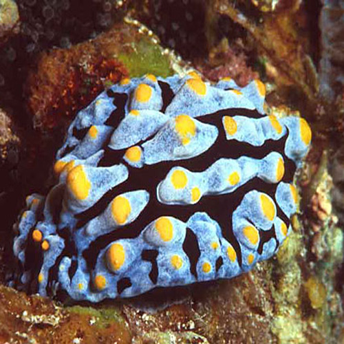 Phyllidia varicosa for Comida viva para peces