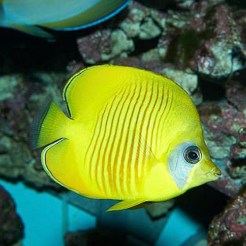 Chaetodon semilarvatus peque o for Comida viva para peces