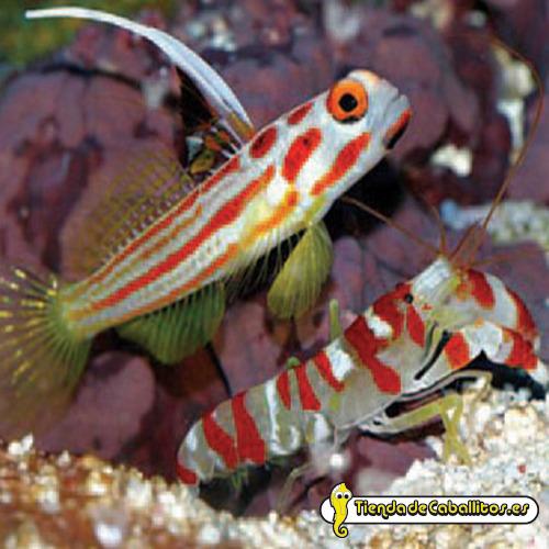 Stonogobiops yasha y alpheus for Comida viva para peces