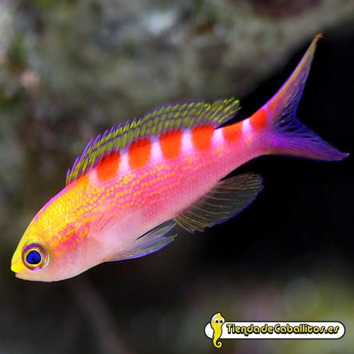 Pseudanthias flavoguttatus macho for Comida viva para peces