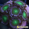 Zoanthus Green Star Dust (colonia)